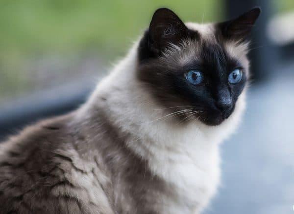 Удивительная балинезийская кошка
