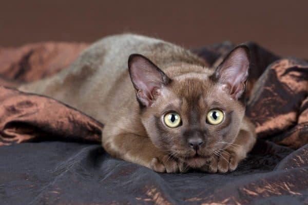 Удивительная бурманская кошка