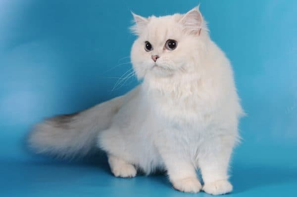 Удивительная длинношерстная британская кошка
