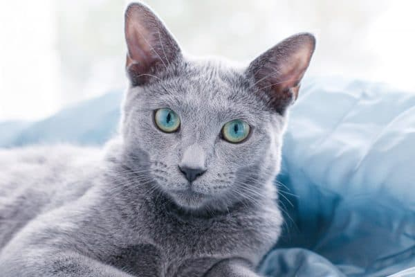 Удивительная русская голубая кошка