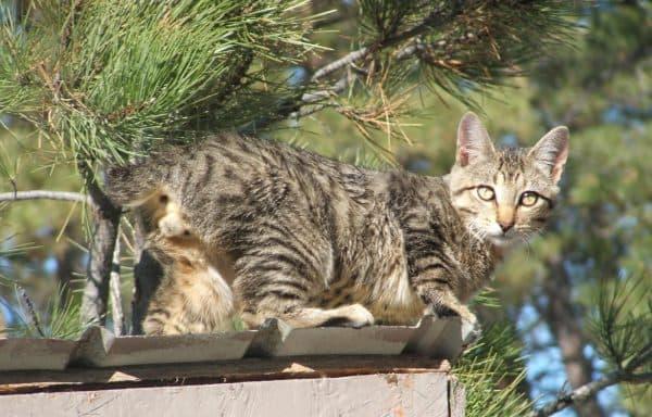 Американский бобтейл. Описание породы, фото кошки, видео, характер и цены.
