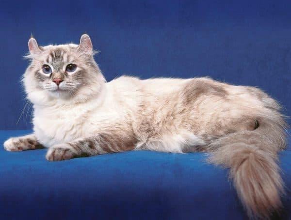 Американский керл. Описание породы, фото кошки, видео, характер и цены.