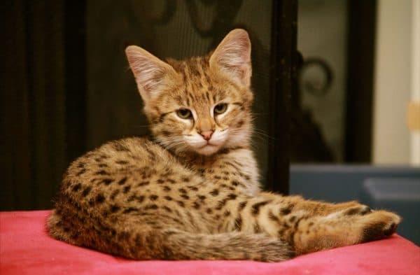 Ашера красивая порода кошек