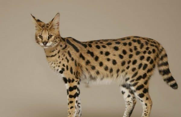 Ашера милая порода кошек