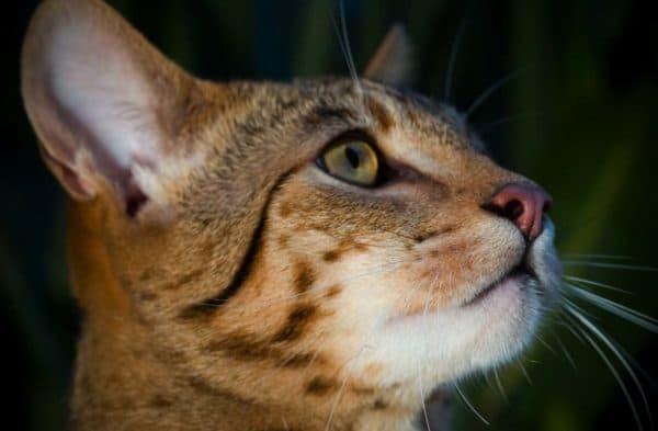 Ашера удивительная порода кошек