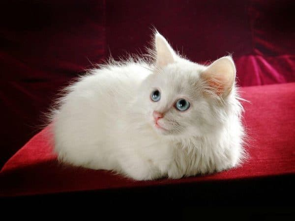 Белоснежный котенок