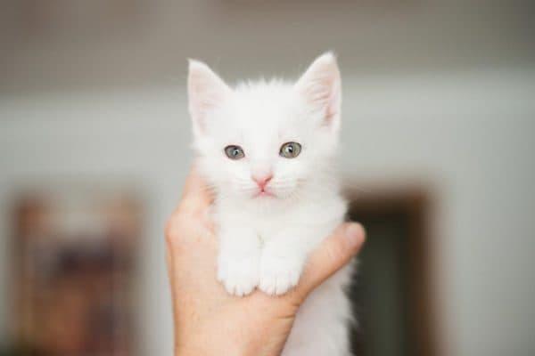 Белый удивительный котенок