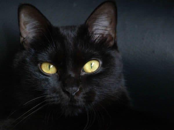 Бомбейская кошка читайте статью