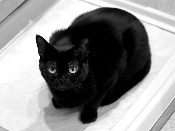 Бомбейская кошка милая порода