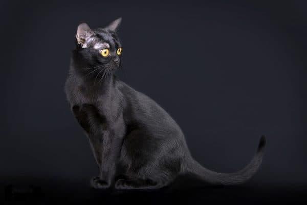 Бомбейская кошка питание