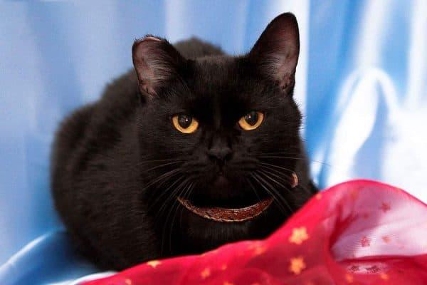 Бомбейская кошка прекрасная порода
