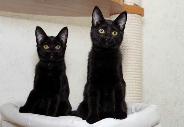 Бомбейская кошка удивительная порода