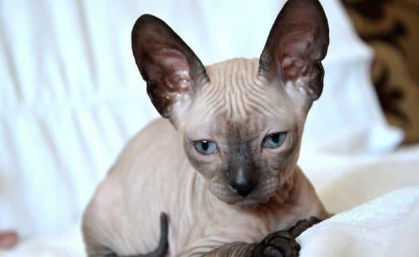 Донской сфинкс красивая порода кошек