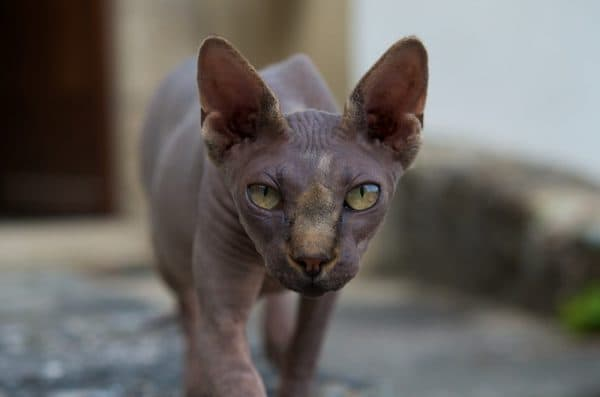 Донской сфинкс. Описание породы, фото кошки, видео, характер и цены.