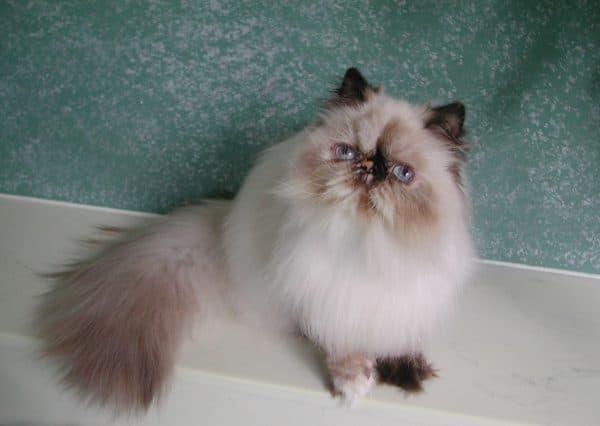 Гималайская кошка блу