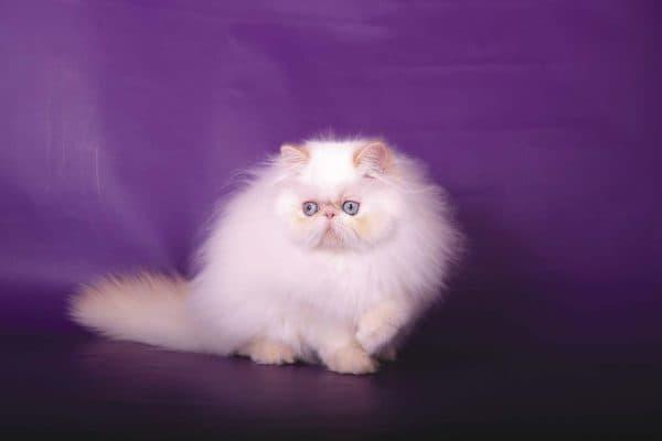 Гималайская кошка красивое фото