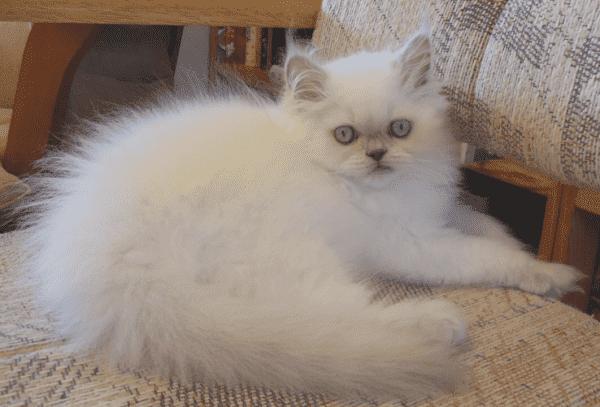 Гималайская кошка лилак