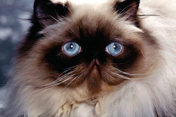 Гималайская кошка милая порода