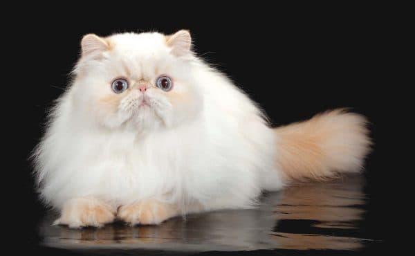Гималайская кошка продолжительность жизни