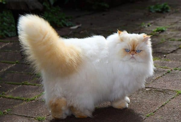 Гималайская кошка рыжий окрас