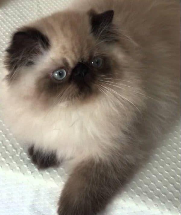 Гималайская кошка шоколад окрас