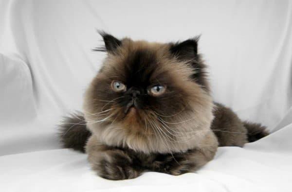Гималайская кошка сил-поинт