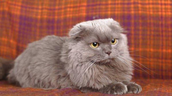 Хайленд фолд - шотландская вислоухая длинношерстная кошка
