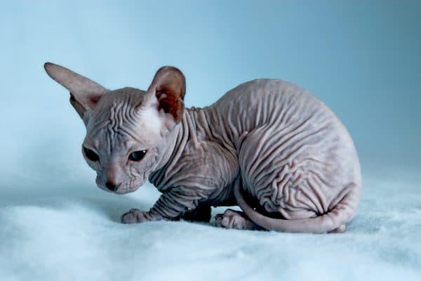 Как назвать котенка сфинкса