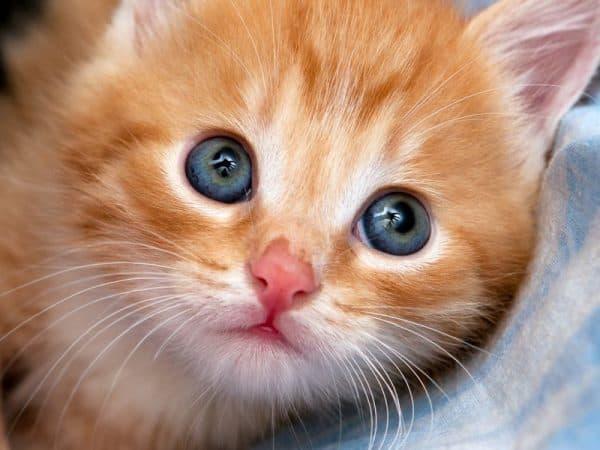 Как назвать рыжего котенка мальчика читайте статью