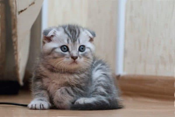 Как назвать шотландского котенка мальчика