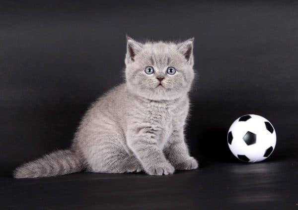 Как назвать шотландского котенка мальчика читайте статью
