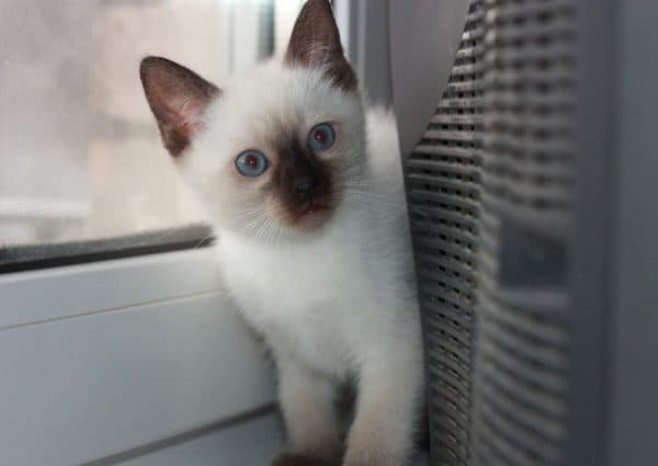 Как назвать сиамского котенка читайте статью