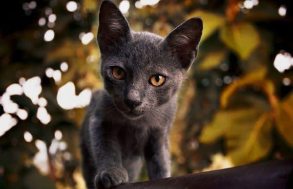Корат кот