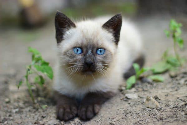 Красивый сиамский котенок