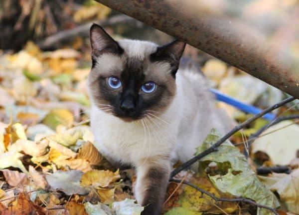 Меконгский бобтейл. Описание породы, фото кошки, видео, характер и цены.