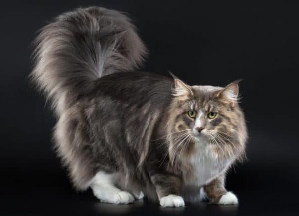 Норвежская лесная кошка голубой окрас