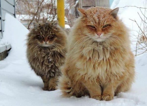 Норвежская лесная кошка красный окрас