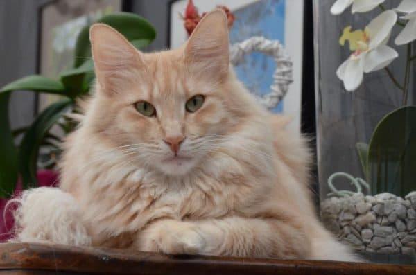 Норвежская лесная кошка кремовый окрас