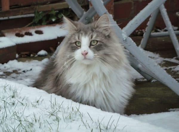 Норвежская лесная кошка милая порода
