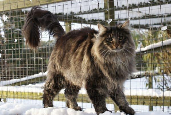 Норвежская лесная кошка описание