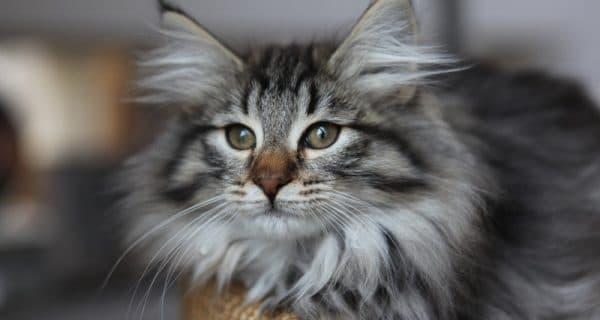 Норвежская лесная кошка содержание