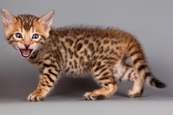Очень злой котенок ашеры