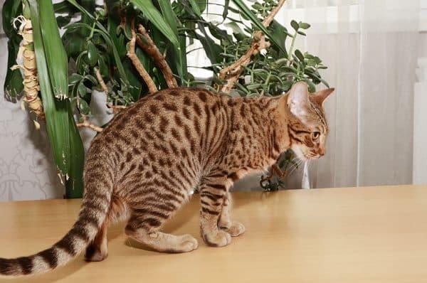 Оцикет кошка прекрасная порода