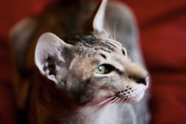 Ориентальная кошка красивая порода