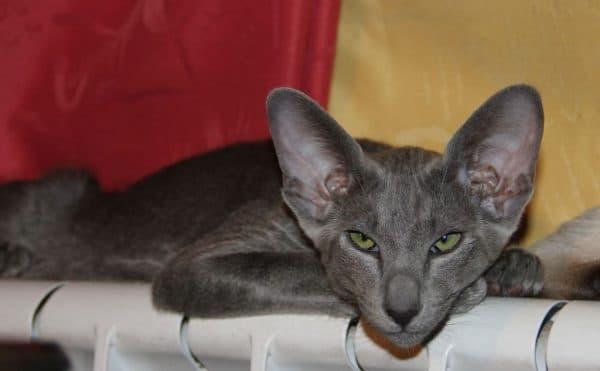 Ориентальная кошка красивое фото