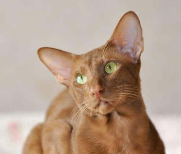 Ориентальная кошка окрас циннамон