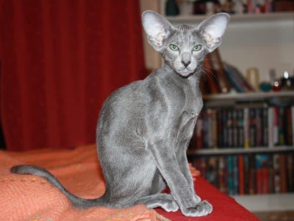 Ориентальная кошка окрас голубой