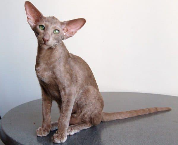 Ориентальная кошка окрас лиловый
