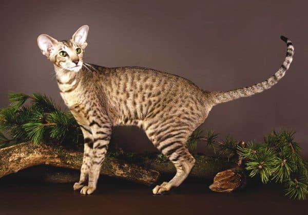 Ориентальная кошка прекрасная порода