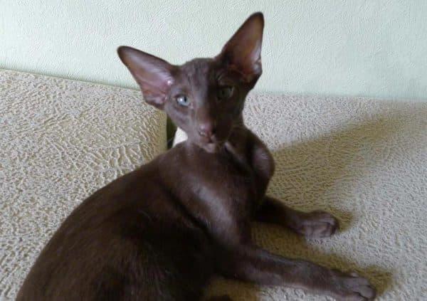 Ориентальная кошка шоколадного окраса